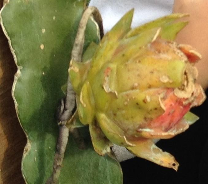 Pitaya - Conhecendo a plantação e o cultivo